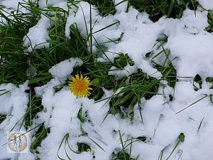 snow-grass-yellow-flower