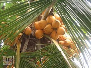 coconuts-on-the-tree-colombo